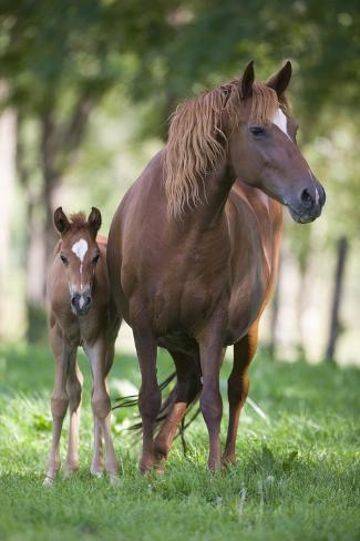 Peruvian Paso Colt with Quarter Horse Broodmare Reproduction photographique