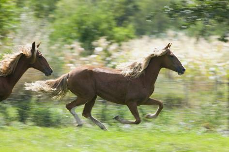 Peruvian Paso Horses Running Reproduction photographique