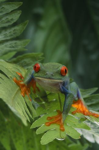 Red Eyed Tree Frog on Plant Reproduction photographique