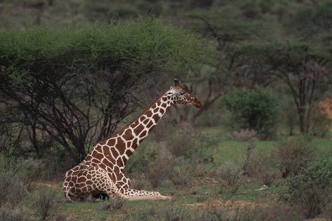 Reticulated Giraffe Resting Reproduction photographique