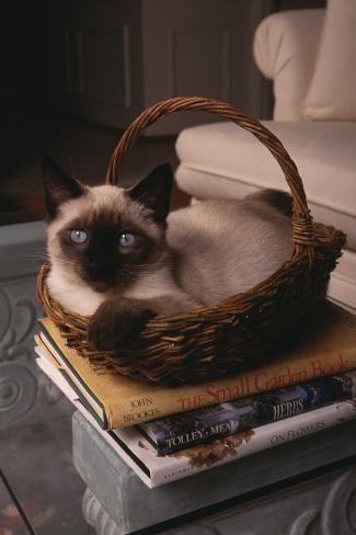 Siamese Cat Sitting in Basket on Coffee Table Reproduction photographique