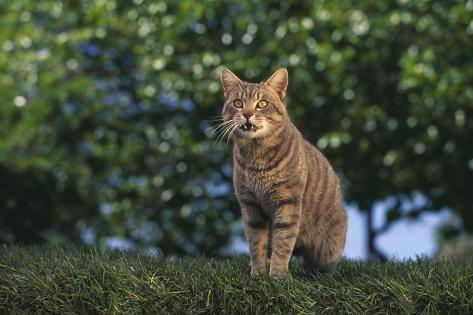 Tabby Cat on Grass Reproduction photographique