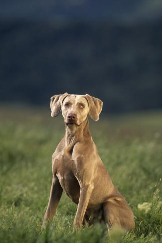 Weimaraner Sitting in Field Reproduction photographique