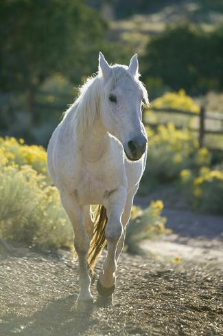 White Horse Walking on Trail Reproduction photographique
