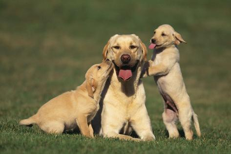 Yellow Lab Mother and Puppies Reproduction photographique