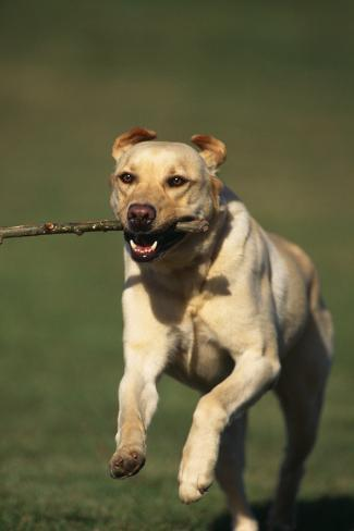 Yellow Lab Running with Stick Reproduction photographique