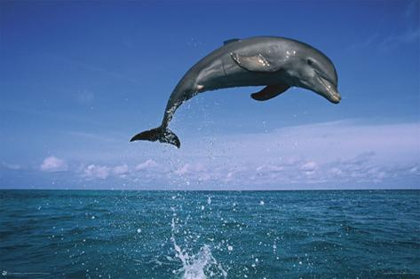 Dolphin Leaping Poster