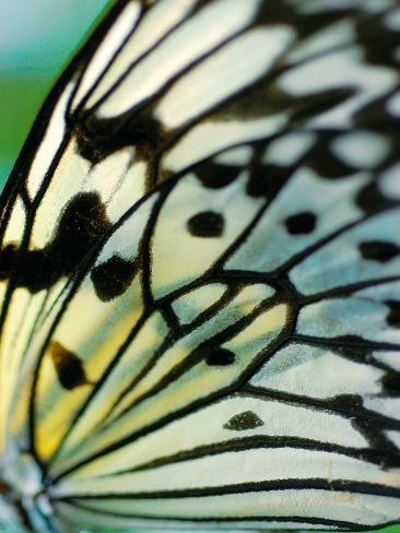 Papillon Toile tendue sur châssis