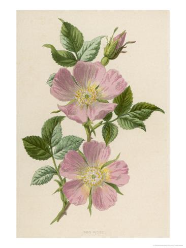 Pink Dog-Rose Reproduction procédé giclée
