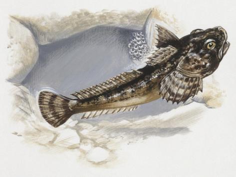 Fishes: Scorpaeniformes Cottidae, Bullhead (Cottus Gobio) Reproduction procédé giclée