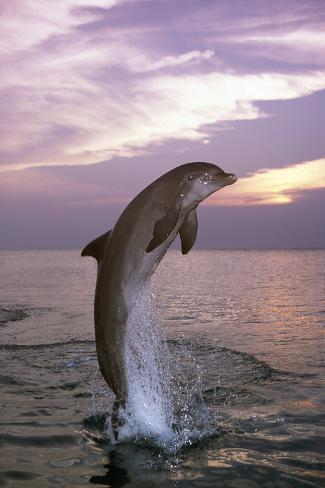 Sea, Ordinary Dolphin, Delphinus Delphis, Jump, Twilight, Series, Waters, Wildlife, Animal, Mammal Reproduction photographique
