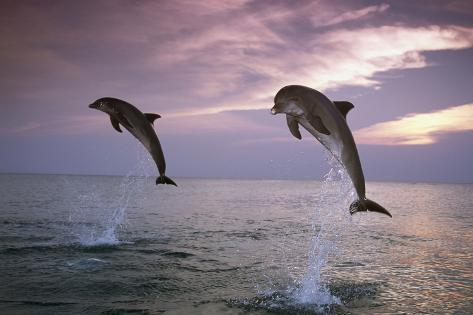 Sea, Ordinary Dolphins, Delphinus Delphis, Jump, Evening-Mood Reproduction photographique