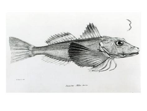 Galapagos Gurnard, plate 6 from 'The Zoology of Voyage of H.M.S Beagle, 1832-36' by Charles Darwin Reproduction procédé giclée