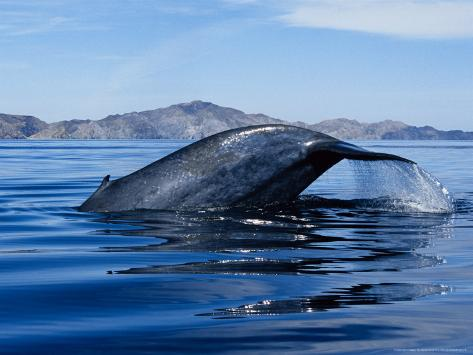 Blue Whale, Raising Fluke, Sea of Cortez Reproduction photographique