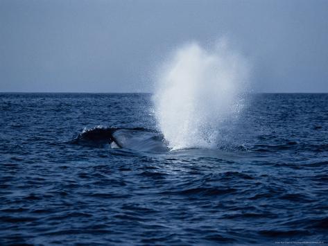Blue Whale, Surfacing, Azores, Portu Reproduction photographique