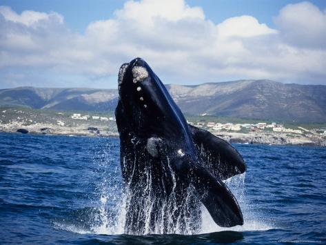 Southern Right Whale, Breaching, S Africa Reproduction photographique