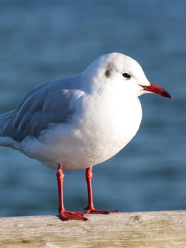 Seegull Gull Bird 2 Reproduction procédé giclée