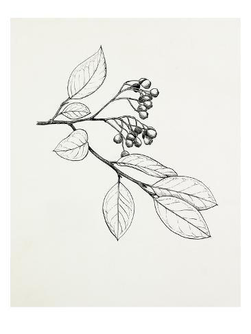 Cotoneaster glaucophyllus Autre