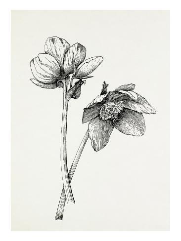 Helleborus niger Autre