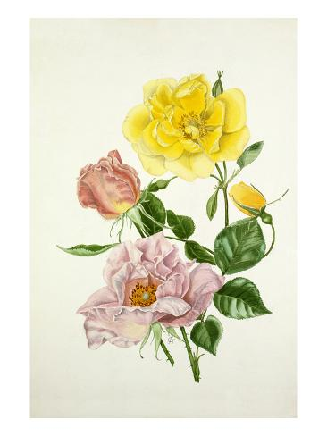 Rosa Lawrence Johnstone, Rosa Cupid Autre