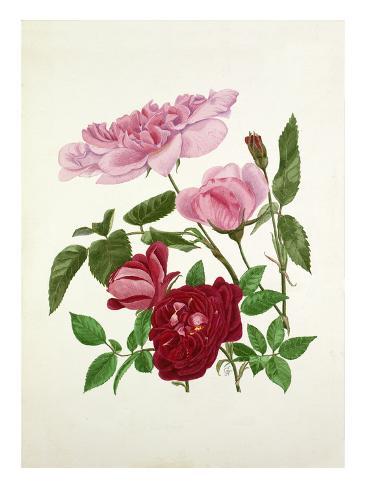Rosa Madame de Sancy de Parabere, Rosa Amadis Autre