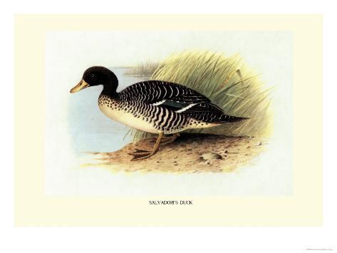 Salvadori's Duck Reproduction d'art