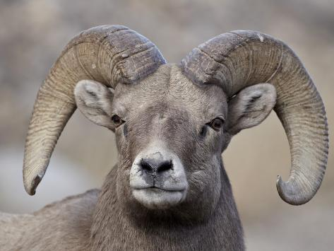 Bighorn Sheep (Ovis Canadensis) Ram Durng the Rut, Clear Creek County, Colorado, USA, North America Reproduction photographique