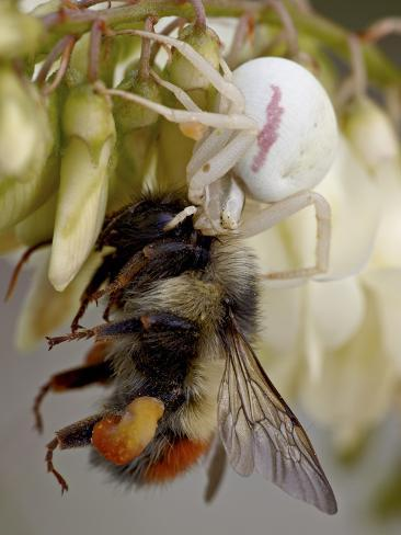Female Goldenrod Spider (Misumena Vatia) Eating a Red-Tailed Bumble Bee (Bombus Ternarius), Waterto Reproduction photographique