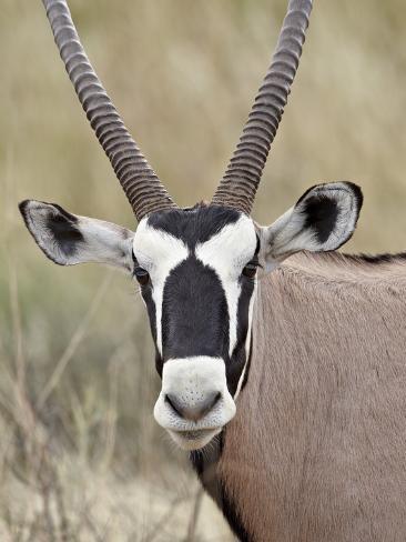 Gemsbok (South African Oryx) (Oryx Gazella), Kgalagadi Transfrontier Park, Encompassing the Former  Reproduction photographique