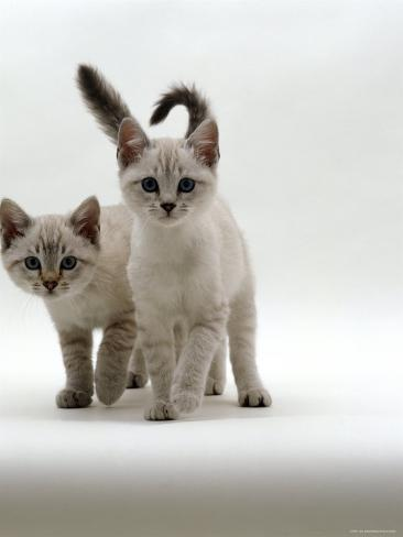Domestic Cat, 10-Week Blue-Eyed Sepia Snow Bengal-Cross Kittens Reproduction photographique