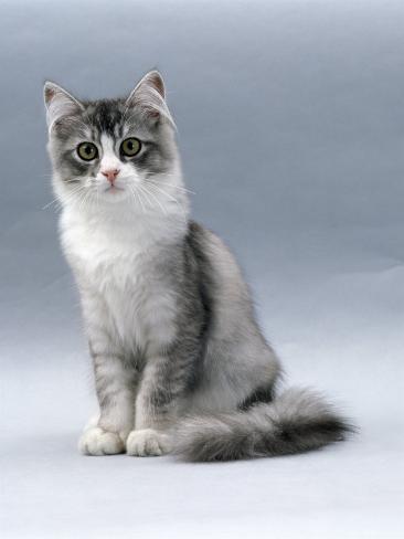 Domestic Cat, 5-Month, Silver Bi-Colour Chinchilla-Cross Reproduction photographique