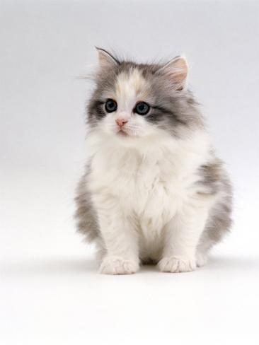 Domestic Cat, 6-Week, Chinchilla-Cross Kitten Reproduction photographique