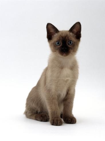 Domestic Cat, 8-Week Seal-Point Tonkinese Kitten Sitting Reproduction photographique