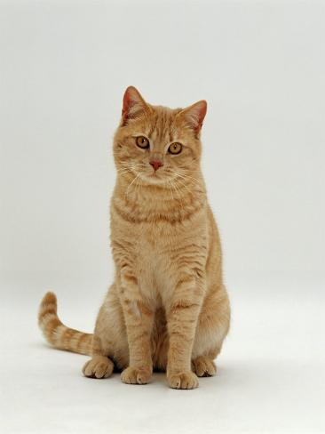 Domestic Cat, Cream British Shorthair Male Reproduction photographique