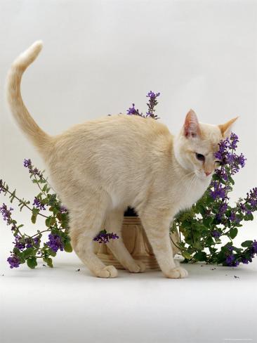 Domestic Cat, Cream Burmese Juvenile Rubbing Herself on Flowering Catmint / Catnip Reproduction photographique