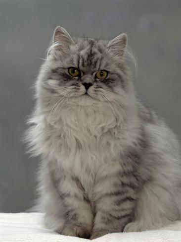 Domestic Cat, Silver Tabby Chinchilla-Cross-Persian in Full Coat Reproduction photographique