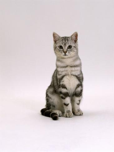 Domestic Cat, Silver Tabby Male Kitten Reproduction photographique