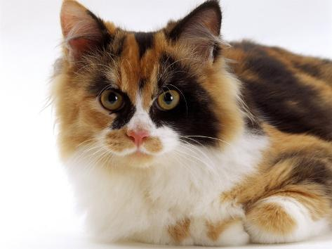 Domestic Cat, Tortoiseshell and White Reproduction photographique