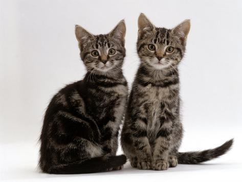 Domestic Cat, Two 8-Week Tabby Kittens, Male and Female Reproduction photographique