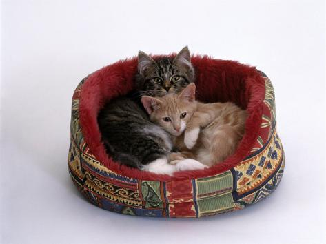 Domestic Cat, Two Kittens in Oval Bed Reproduction photographique