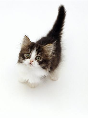 Looking Down on Domestic Cat, 7-Week Tabby and White Persian-Cross Kitten Looking Up Reproduction photographique
