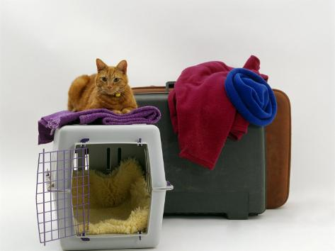 Marmalade Domestic Cat, with Pet Transporter / Carrier and Suitcases Reproduction photographique