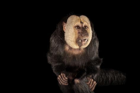 A Male White-Faced Saki Monkey, Pithecia Pithecia, at the Kansas City Zoo Reproduction photographique