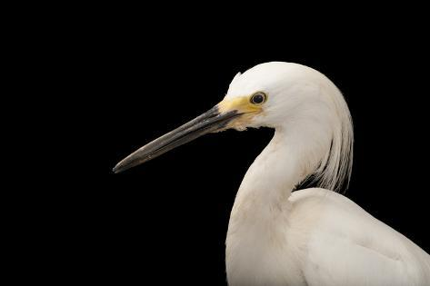 A Snowy Egret, Egretta Thula, at the Lincoln Children's Zoo Reproduction photographique