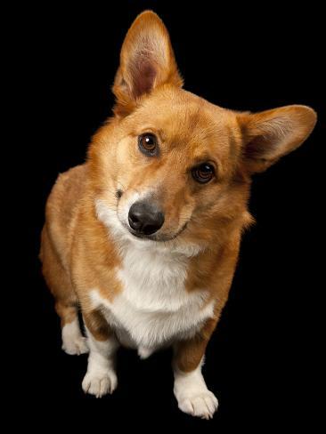 A Studio Portrait of a Corgi Dog Named Rusty Reproduction photographique