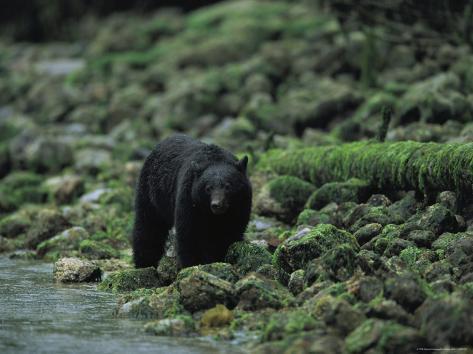 Black Bear Fishing Reproduction photographique