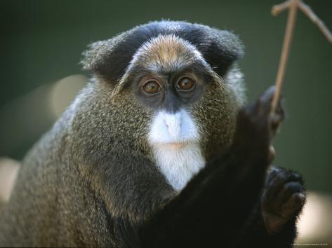 Portrait d'un singe DeBrazzas Reproduction photographique