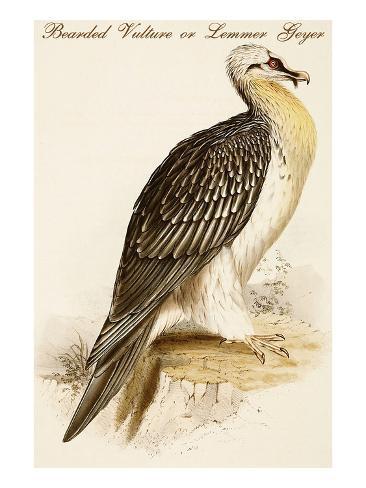 Bearded Vulture or Lemmer Geyer Reproduction d'art