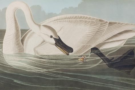 Illustration from 'Birds of America', 1827-38 Reproduction procédé giclée