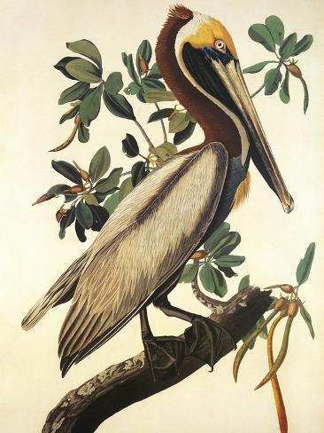 Pélican brun Reproduction d'art